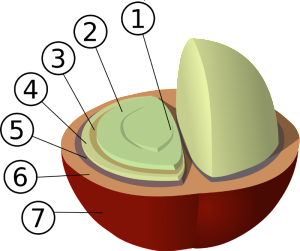 structure of coffee bean