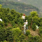 A team of workers harvesting coffee. Llano Bonito, León Cortés, San José State, Costa Rica. Photo: Eduardo Martino / 15.01.2009